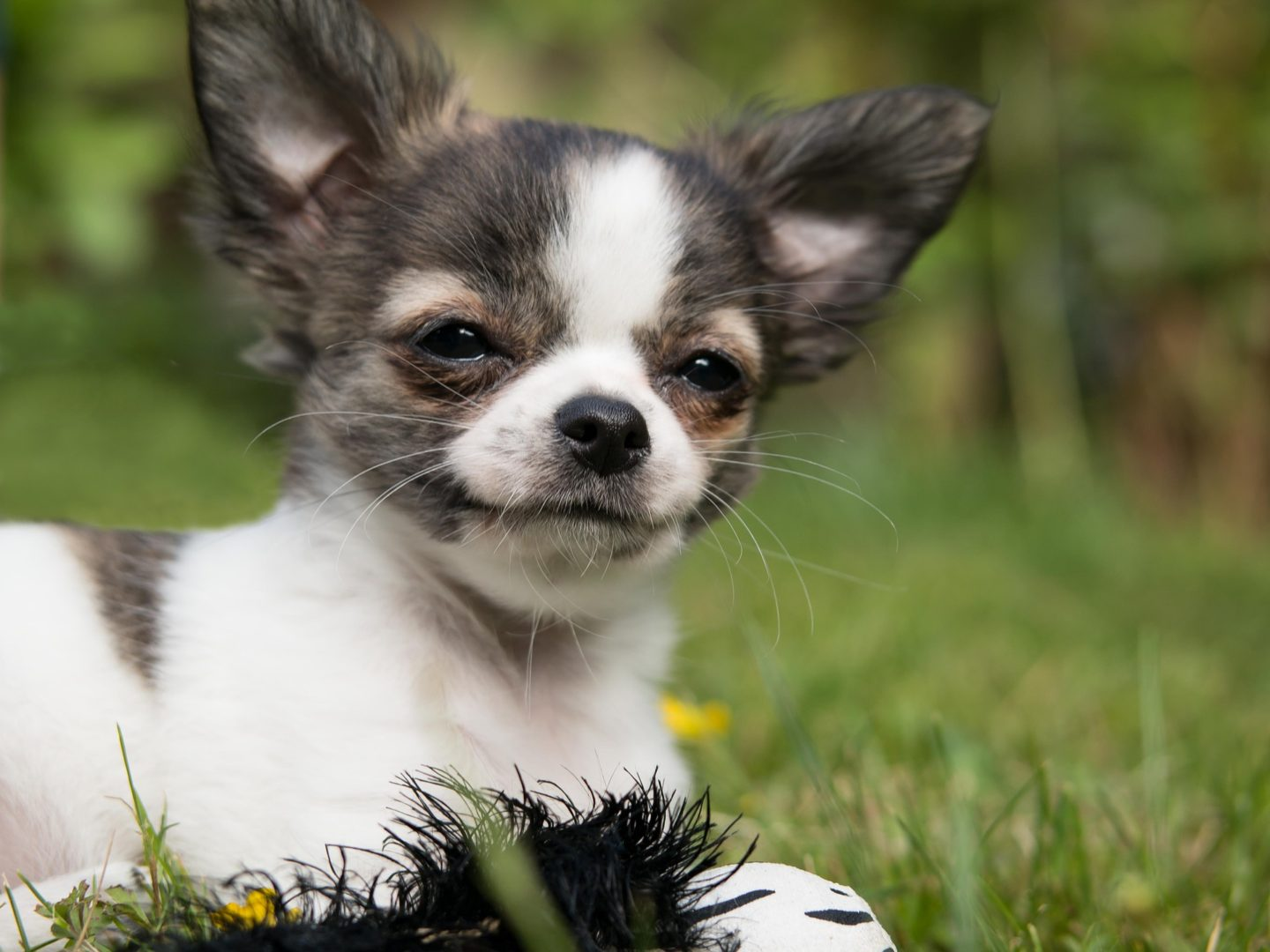 Chihuahua Training: Is Your Chihuahua A Good Citizen?