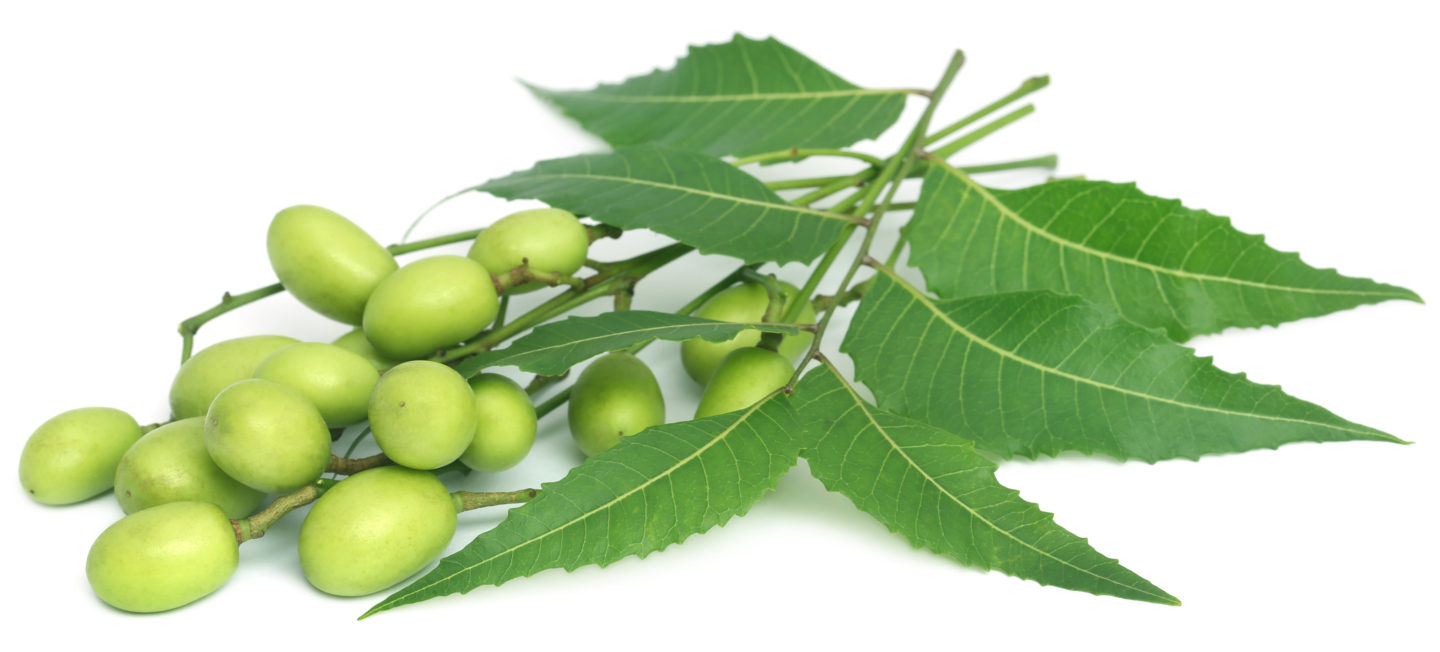 Neem Oil for Dogs: Why you can't do without it!