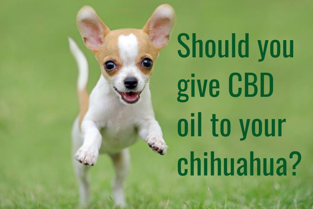 How effective is CBD oil for dogs? Can I give to my chihuahua?