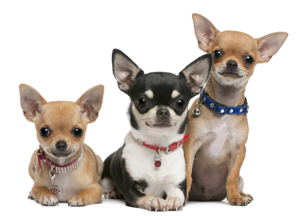 Titre testing, why is it good for your chihuahua?